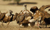 Vulture attacks reported on livestock in Ciudad Real