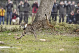Three more lynx released into the wild in the mountains of Toledo